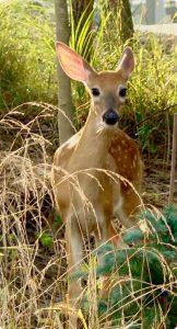 Beautiful shy deer in woods at Hidden Valley Lake