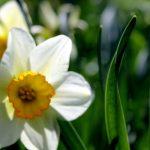 Spring Daffodil Closeup
