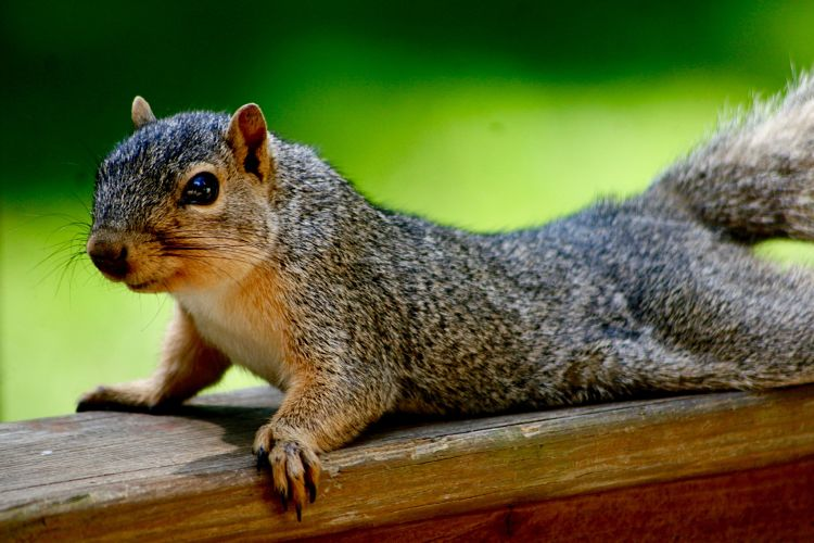 Squirrel Pushups