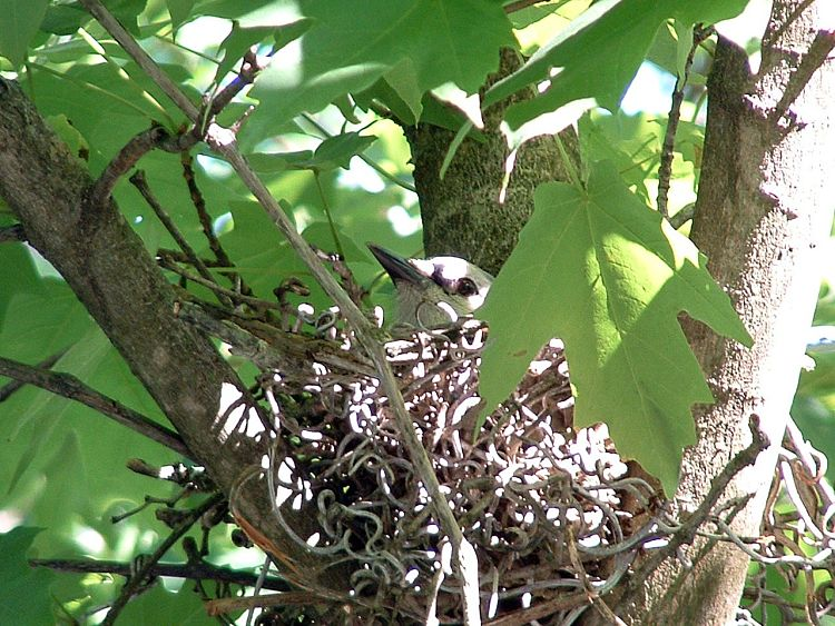 BlueJay Nesting