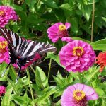 Butterfly on Pink Zinnnias