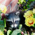 Raccoon in Thorny Situation