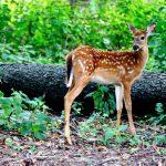 baby deer gaze